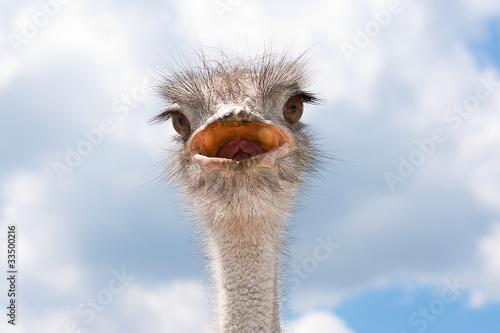 Staande foto Struisvogel Ostrich head.
