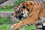 Fototapeta Zwierzęta - Tygrys