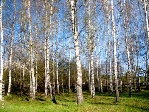 Foto op Plexiglas Berkbosje forest