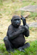 canvas print picture - young gorilla sticking up its middle finger