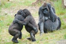 Two Young Gorillas Dancing