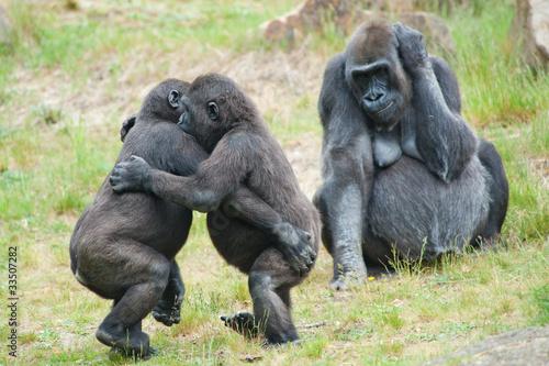 In de dag Aap Two young gorillas dancing