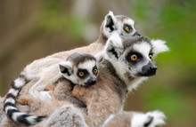 Ring-tailed Lemur With Her Cut...