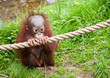 canvas print picture cute baby orangutan