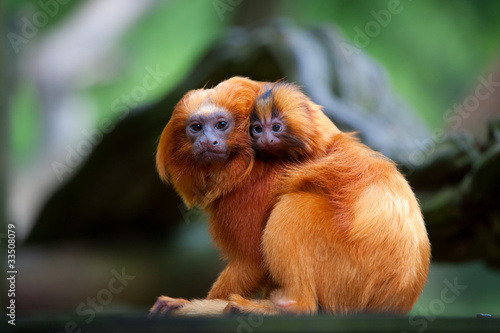 Fototapeta golden lion tamarin with baby
