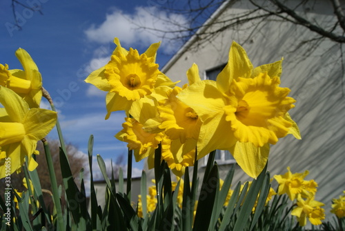 In de dag Narcis Bunch of natural yellow daffodils