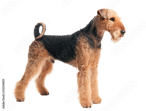 Photo Airedale Terrier dog isolated
