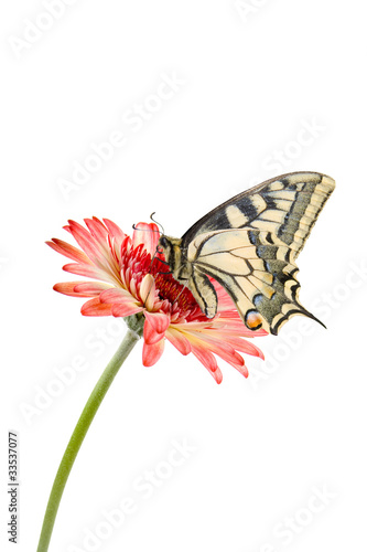Poster Rose Tropical butterfly and pink flower