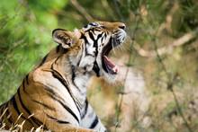 Bengal Tiger In Bandhavgargh Park, India