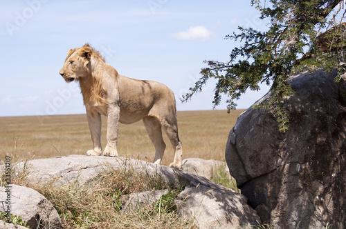 Keuken foto achterwand Baobab Lions du Serengeti