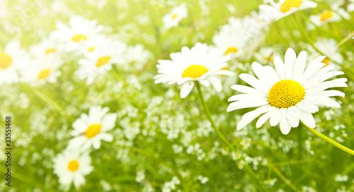 In de dag Madeliefjes White daisy flowers