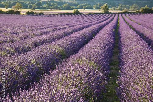 Fotobehang Lavendel Champ de lavande #3