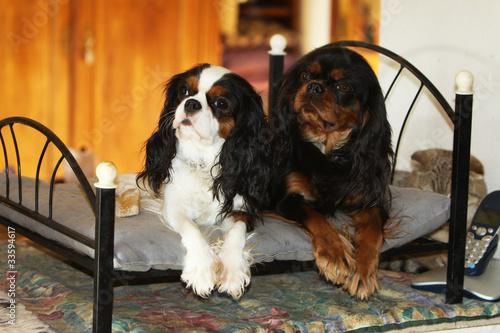 Fotografie, Tablou  deux cavaliers king Charles sur un lit décoratif