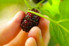 Man Breaks Mulberries