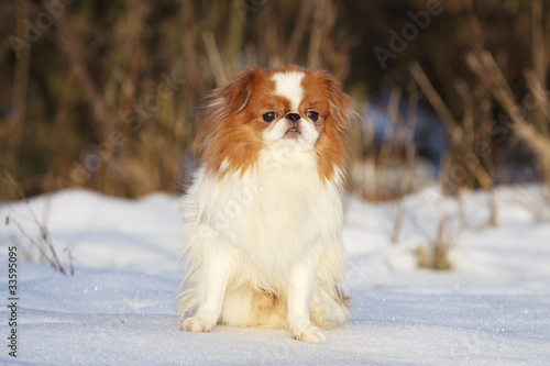 Fotografie, Obraz  a japanese chin spaniel in winter