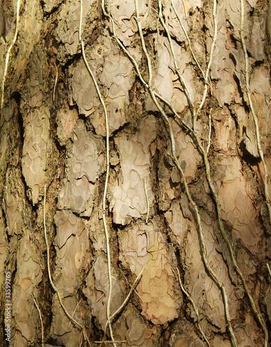 Fototapeta premium tekstura pnia drzewa