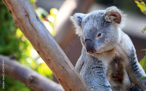 Garden Poster Koala Koala portrait