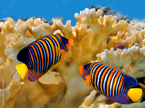 Regal angelfish (pygoplites diacanthus) Wallpaper Mural