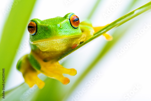 Tuinposter Kikker Small green tree frog holding on the palm tree