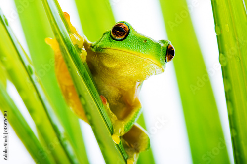 Tuinposter Kikker Small green tree frog holding on palm tree