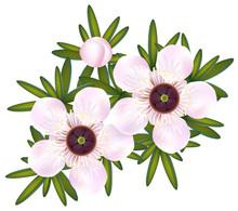 Manuka Or Tea Tree Or Just Leptospermum. Flowers And Leaf.