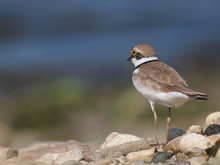 Little Ringed Plover With Beau...