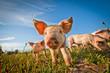 Leinwanddruck Bild - One cute pig curious on the camera