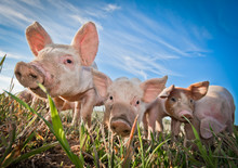 Three Small Pigs Standing On A...