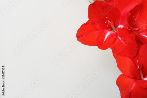 gladioli Billede på lærred