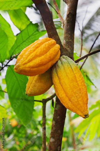 Fotografía  Cocoa tree with pods