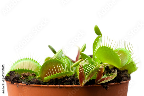 Carta da parati Venus flytrap in a pot