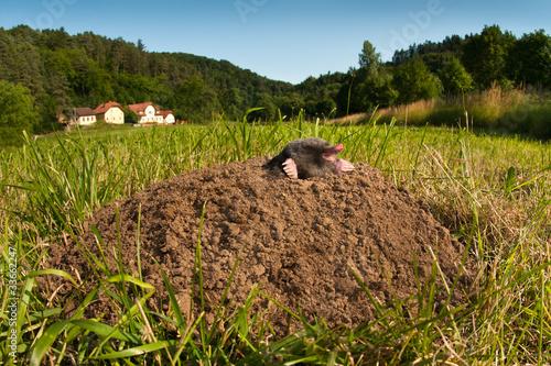 Fotografie, Obraz  Ein Maulwurf ruht sich auf seinem Haufen aus.