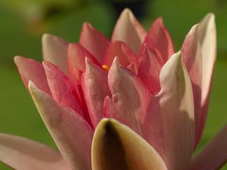 Obraz lilia wodna