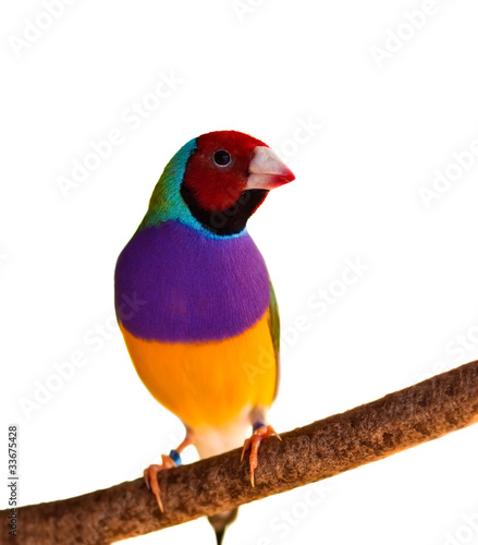 Photo  Australian finch Gouldian red headed male bird isolated