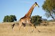 canvas print picture - Running giraffe
