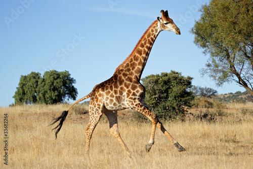 Obraz na plátne Running giraffe