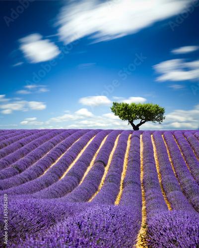 Garden Poster Lavender Lavande Provence France / lavender field in Provence, France