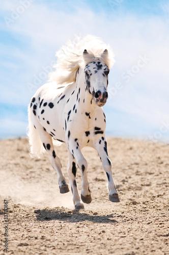 Fotografie, Obraz Appaloosa pony runs gallop in dust