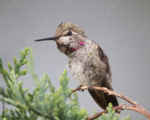 Photo  Juvenile Male Anna's Hummingbird on a Cedar Branch