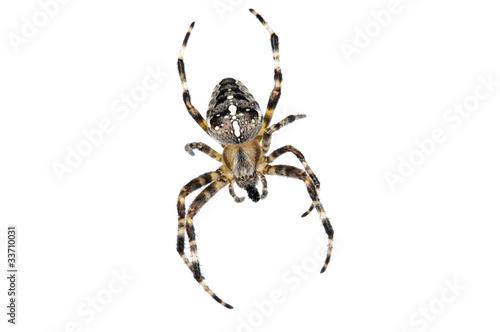 Photo Cross spider