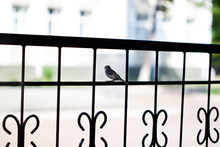 Solitary Sparrow On A Metal Ra...