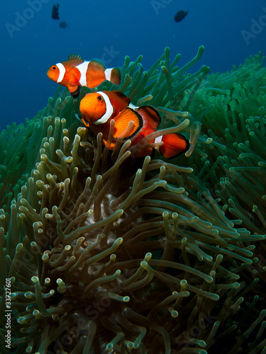 Fotografie, Tablou  Orange clown fish family