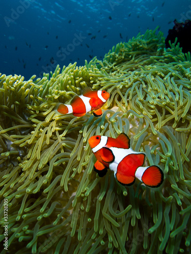 Photo  Nemo clownfish family