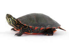 Painted Turtle Isolated On White