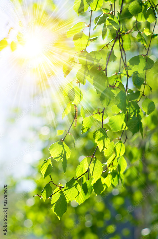 Background of fresh green leaves of birch