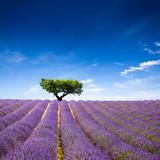Lavande Provence France / lavender field in Provence, France - 33768265