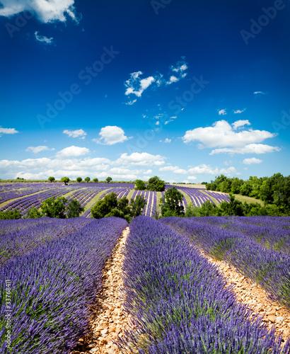 Tuinposter Lavendel Lavande Provence France / lavender field in Provence, France