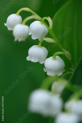 Wall Murals Lily of the valley スズラン