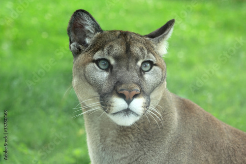 Fotobehang Puma Closeup of cougar or mountain lion in the grass