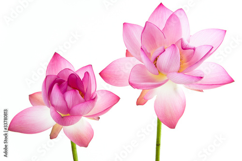 Foto op Canvas Lotusbloem Twain pink water lily flower (lotus) and white background.